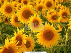 The sunflower is fodder