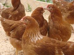 Цыплята мясо-яичных пород кур