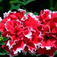 Семена цветов Петуния грандифлора махровая Пируэт