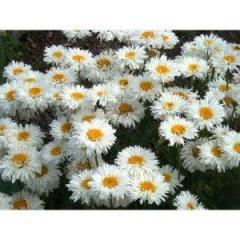 Семена цветов Ромашка махровая Крейзи Дейзи 300