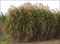 Biofuel, miskantus gigantus rhizomes