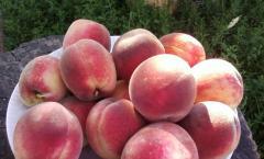 Саженцы персика сорта Золотая Москва выращивание