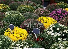 Рассада многолетних цветов