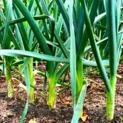 Garlic seeds + support of cultivation