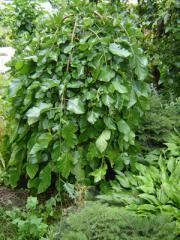 Саженцы деревьев лиственных пород