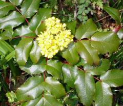 Магония падуболистная Mahonia aquifolium