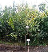 Europian linden, Garden center, Bila Tserkva,