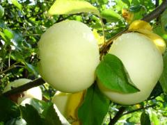 Саженцы яблонь Белый Налив