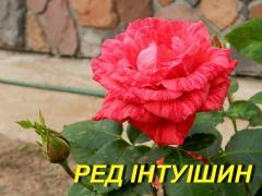 """Роза """"Ред Интуишин"""" (ч-г) (ЗКС)"""
