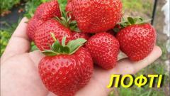 "Суниця садова (ПОЛУНИЦЯ) \""Лофті\"" (ЗКС)"