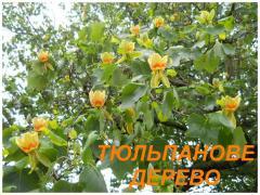 Саджанці Тюльпанового дерева (Лириодендрона) (ЗКС)