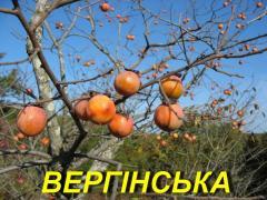 """Саженец Хурмы """"Вергинская"""" 2 г."""