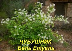 Саджанець Жасмин садового Бель Етуаль (Бузок)