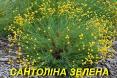 Саджанця Сантоліна зеленої