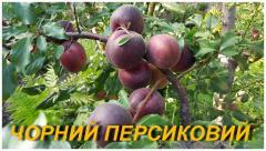 "Саженцы абрикоса ""Черный Персиковый"""