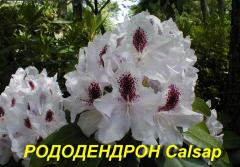 """Саженцы Рододендрона """"Calsap"""" (ЗКС) 3 г."""