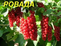 """Красная смородина """"Ровада"""" (ЗКС)"""