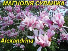 """Магнолія Суланжа \""""Александріна\"""" (ЗКС)"""
