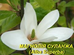 """Магнолія Суланжа \""""Альба Суперба\"""" (ЗКС)"""