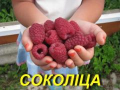 """Саженцы малины """"Соколица"""" (ЗКС)"""