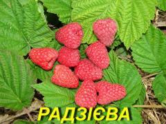 """Саженцы малины """"Радзиева"""" (ЗКС)"""
