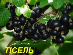 """Саженцы черной смородины """"Тисель"""" (ЗКС)"""