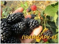 "Саженцы Ежевики ""Прайм Арк 45"" (ЗКС) 2 г."