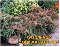 Саженцы Кизильника горизонтального (ЗКС) 3 г.