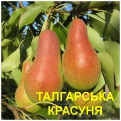 Pear seedlings