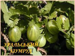 """Саженцы крыжовника """"Уральский изумруд"""""""