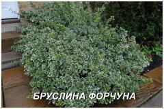 """Саженцы Бересклета """"Форчуна"""" (ЗКС) 3 г."""