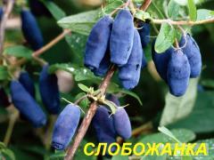 "Саженцы жимолости ""Слобожанка"" (ЗКС) 3 г."