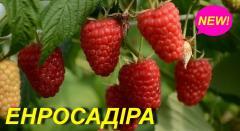 """Саженцы малины \""""Энросадира\"""""""