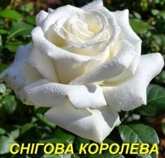 "Роза ""Снежная королева"" (ч-г) (ЗКС)"