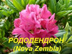 "Саженцы Рододендрона ""Nova Zembla"" (ЗКС)"