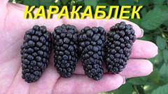 """Саженцы Ежевики """"Каракаблек"""""""