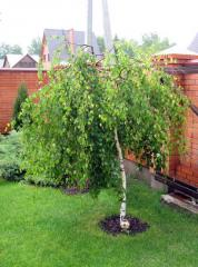 I will sell a birch warty from 1,20 m to 2 m.