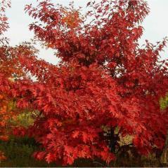 Саженцы дуба красного от 0,8м до 1,20м, Продам