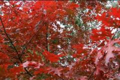 Продам саженцы красного дуба от 1,20 м до 2м.,