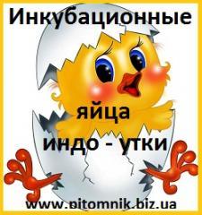 Яйца инкубационные мускусной утки (индо-утка,