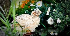 White Texas (Incubatory Egg)