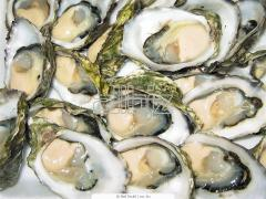 Financial De Claire No. 1 oyster to wholesale