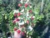 Ornamental shrubs, raspberry saplings, Kherson