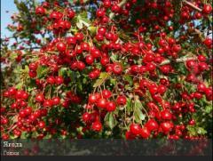 Godzha saplings, Kherson