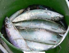 Рыба живая, щука оптом. мелким оптом