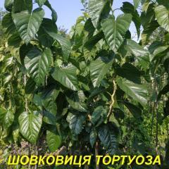 Саженец шелковицы Тортуоза (извилистая форма) 2 г.