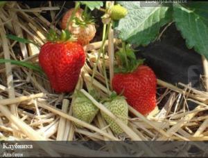 Seedling, strawberry saplings Albion, Kherson