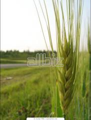 Wheat of the first class