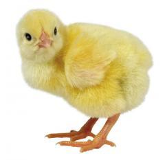 Комбикорма для домашней птицы (куры несушки,