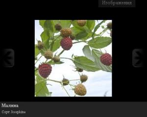 Саженцы малины Josephine, Erika, Autumn Treasure,